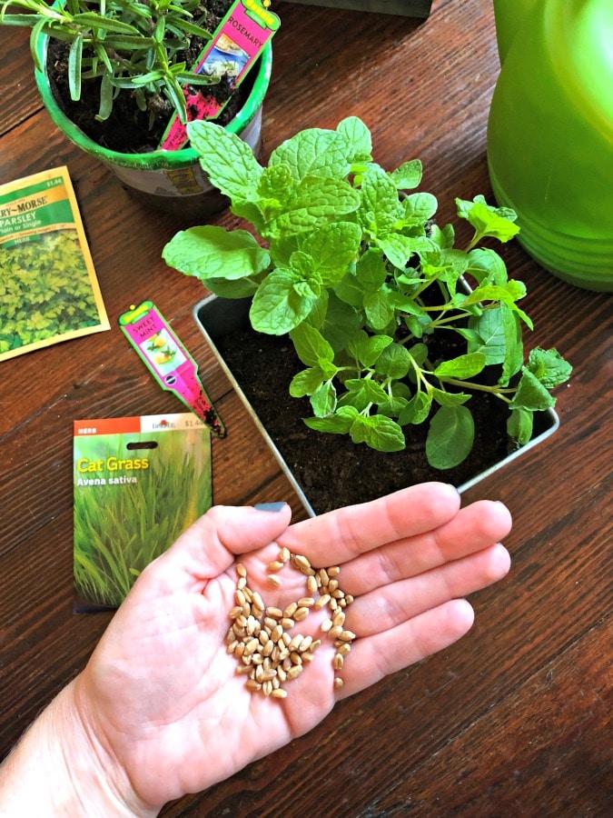 Cat grass seeds in hand