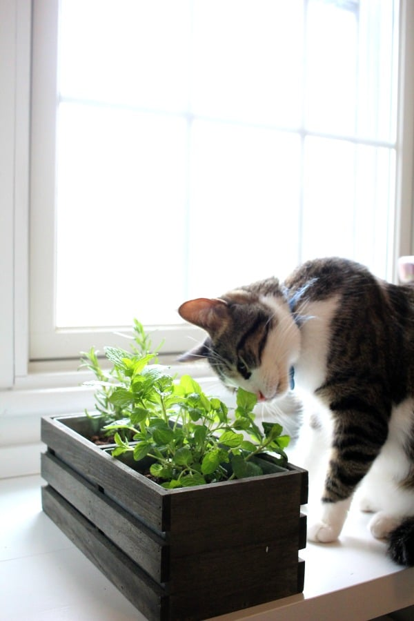 Cat eating cat grass and herbs