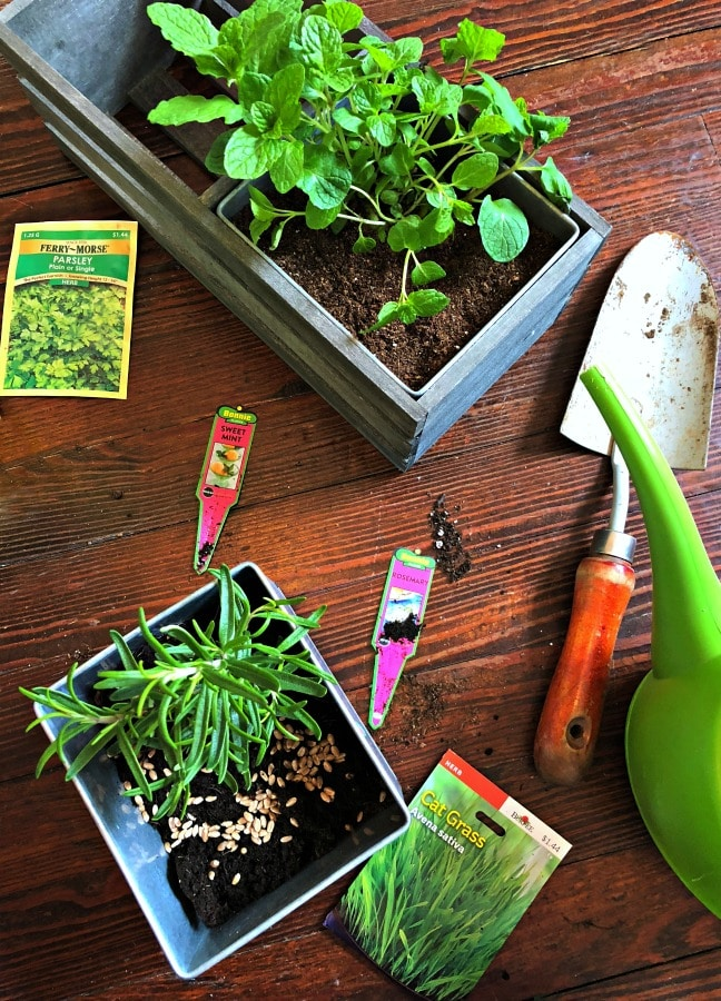 Planting cat grass in a small garden