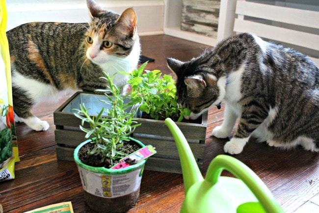 Cats smelling herbs and cat grass in small planter