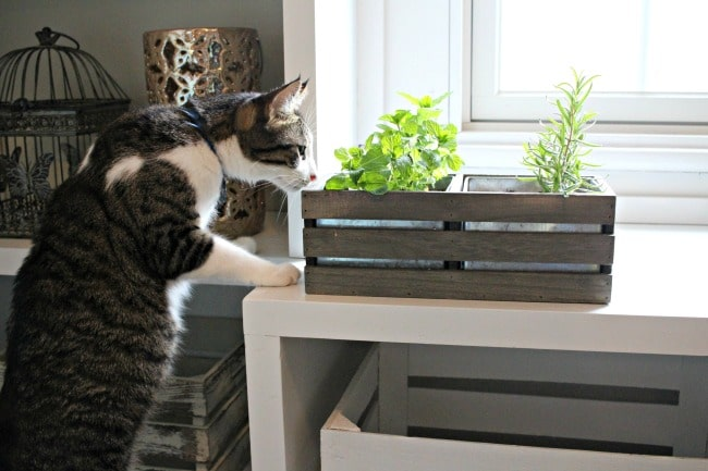 Cat smelling herbs in cat grass planter